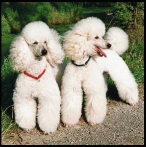 Cani barboncini